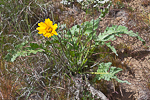 Hybrid of Arrow-leaf Balsamroot (Balsamorhiza sagittata)  and Hooker's Balsamroot (Balsamorhiza hookeri) blooming in the Beezley Hills Preserve, a Nature Conservancy-protected area preserving shrub-steppe habitat on the Columbia Plateau, Washington State, USA, May, Sagebrush-Steppe-42