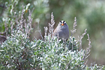 White-crowned Sparrow (Zonotrichia leucophrys) on sagebrush in the Beezley Hills Preserve, a Nature Conservancy-protected area preserving shrub-steppe habitat on the Columbia Plateau, Washington State, USA, May, White-crowned Sparrow-16