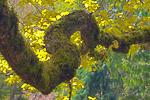 Golden Oak (Quercus robur 'Concordia') (aka English Oak and Pedunculate Oak in the uncultivated form) heavy and twisted limb in the Washington Park Arboretum, University of Washington, Seattle, Washington, USA, March, Seattle_Arboretum-1989