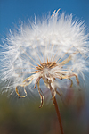 An unidentified composite seed head ready to disperse its seeds to the wind along Tronsen Ridge, Wenatchee National Forest, Wenatchee Mountains, Washington State, USA, July, Parachute_Seeds-Fluffy-1