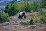 Grizzly Bear (Ursus arctos horribilis) staring with menace at the photographer near Magog Lake, Mount Assiniboine Provincial Park, British Columbia, Canada, Mount_Assiniboine_Grizzly_Bear-33