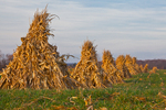 Cornstalks stacked in the field by an Amish farmer in an Amish colony near Stanwood, Michigan, USA, November, Michigan_Amish-9