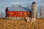 Cow feeding among cornstalks left in the field by an Amish farmer in an Amish colony near Stanwood (with a barn that may not be Amish-owned), Michigan, USA, November, (NOT property released) Michigan_Amish-15