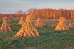 Cornstalks stacked in the field by an Amish farmer in an Amish colony near Stanwood, Michigan, USA, November, Michigan_Amish-18