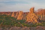 Cornstalks stacked in the field by an Amish farmer in an Amish colony near Stanwood, Michigan, USA, November, Michigan_Amish-19