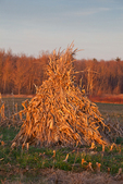 Cornstalks stacked in the field by an Amish farmer in an Amish colony near Stanwood, Michigan, USA, November, Michigan_Amish-21