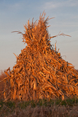 Cornstalks stacked in the field by an Amish farmer in an Amish colony near Stanwood, Michigan, USA, November, Michigan_Amish-24
