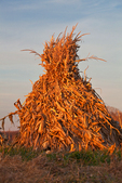 Cornstalks stacked in the field by an Amish farmer in an Amish colony near Stanwood, Michigan, USA, November, Michigan_Amish-25