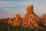 Cornstalks stacked in the field by an Amish farmer in an Amish colony near Stanwood, Michigan, USA, November, Michigan_Amish-26