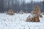 Cornstalks, during a late autumn snowstorm, stacked in the field by an Amish farmer in an Amish colony near Stanwood, Michigan, USA, November, Michigan_Amish-35