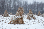 Cornstalks, during a late autumn snowstorm, stacked in the field by an Amish farmer in an Amish colony near Stanwood, Michigan, USA, November, Michigan_Amish-36