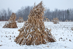 Cornstalks, during a late autumn snowstorm, stacked in the field by an Amish farmer in an Amish colony near Stanwood, Michigan, USA, November, Michigan_Amish-39