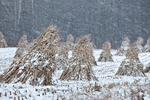 Cornstalks, during a late autumn snowstorm, stacked in the field by an Amish farmer in an Amish colony near Stanwood, Michigan, USA, November, Michigan_Amish-42