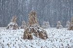 Cornstalks, during a late autumn snowstorm, stacked in the field by an Amish farmer in an Amish colony near Stanwood, Michigan, USA, November, Michigan_Amish-44