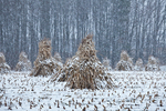 Cornstalks, during a late autumn snowstorm, stacked in the field by an Amish farmer in an Amish colony near Stanwood, Michigan, USA, November, Michigan_Amish-46