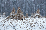 Cornstalks, during a late autumn snowstorm, stacked in the field by an Amish farmer in an Amish colony near Stanwood, Michigan, USA, November, Michigan_Amish-47