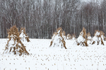 Cornstalks in the snow, stacked in the field by an Amish farmer in an Amish colony near Stanwood, Michigan, USA, December, Michigan_Amish-50