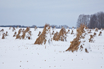 Cornstalks in the snow, stacked in the field by an Amish farmer in an Amish colony near Stanwood, Michigan, USA, December, Michigan_Amish-56