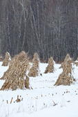 Cornstalks in the snow, stacked in the field by an Amish farmer in an Amish colony near Stanwood, Michigan, USA, December, Michigan_Amish-57