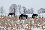 Horses grazing in a cornfield on an Amish farm, part of an Amish colony located near Stanwood, Michigan, USA, December, Michigan_Amish-71