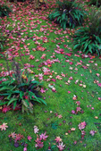 Fallen Japanese Maple (Acer palmatum)  leaves on mossy bed with ferns, in Japanese Garden, Seattle, Washington State, USA, Japanese_Garden_Fall-927
