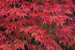 Red autumn leaves on a Japanese Maple (Acer palmatum) in Japanese Garden, Seattle, Washington State, USA, Japanese_Garden_Fall-947