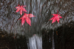Fallen autumn Japanese Maple (Acer palmatum cultivar) leaves and a small waterfall in Japanese Garden, Seattle, Washington State, USA, Japanese_Garden_Fall-960