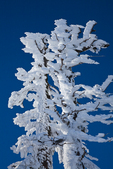 Conifers covered with rime ice at Artist Point, near the Mt. Baker Ski Area, Mt. Baker-Snoqualmie National Forest, North Cascade Mountains, Washington State, USA,  Artist_Point_Winter-137