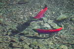 Courtship dance of male and female Sockeye Salmon (Oncorhynchus nerka) at a spawning bed in the gravel along the Adams River, during the biggest run in 100 years, Roderick Haig-Brown Provincial Park, British Columbia, Canada, October, Adams_River_Sockeye_Salmon-39