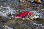 Sockeye Salmon (Oncorhynchus nerka) male muscling his way upstream in a shallows of the Adams River, during the biggest run in 100 years, Roderick Haig-Brown Provincial Park, British Columbia, Canada, October, Adams_River_Sockeye_Salmon-79
