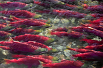 Masses of Sockeye Salmon (Oncorhynchus nerka) swimming upstream at the edge of the lower Adams River, where the current is not as rapid as in the center of the river, during the biggest run in 100 years, Roderick Haig-Brown Provincial Park, British Columbia, Canada, October, Adams_River_Sockeye_Salmon-92