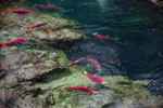 """Sockeye Salmon (Oncorhynchus nerka) in a """"salmon graveyard"""" along an underwater cliff of the Canyon of the lower Adams River, during the biggest run in 100 years, Roderick Haig-Brown Provincial Park, British Columbia, Canada, October, Adams_River_Sockeye_Salmon-259"""