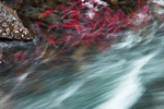 Sockeye Salmon (Oncorhynchus nerka) resting in a backwater in the Canyon area of the lower Adams River, just out of the rapids, during the biggest run in 100 years, Roderick Haig-Brown Provincial Park, British Columbia, Canada, October, Adams_River_Sockeye_Salmon-260