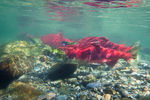 Underwater view of male and female Sockeye Salmon (Oncorhynchus nerka) in the Adams River at the location of their redd (nest), during the biggest run in 100 years, Roderick Haig-Brown Provincial Park, British Columbia, Canada, October, Adams_River_Sockeye_Salmon-498
