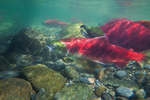 Underwater view of male and female Sockeye Salmon (Oncorhynchus nerka) in the Adams River at the location of their redd (nest), during the biggest run in 100 years, Roderick Haig-Brown Provincial Park, British Columbia, Canada, October, Adams_River_Sockeye_Salmon-499