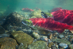 Underwater view of male and female Sockeye Salmon (Oncorhynchus nerka) in the Adams River at the location of their redd (nest), during the biggest run in 100 years, Roderick Haig-Brown Provincial Park, British Columbia, Canada, October, Adams_River_Sockeye_Salmon-500