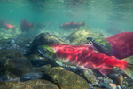 Underwater view of male and female Sockeye Salmon (Oncorhynchus nerka) in the Adams River at the location of their redd (nest), during the biggest run in 100 years, Roderick Haig-Brown Provincial Park, British Columbia, Canada, October, Adams_River_Sockeye_Salmon-516