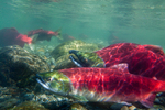 Underwater view of male and female Sockeye Salmon (Oncorhynchus nerka) in the Adams River at the location of their redd (nest), during the biggest run in 100 years, Roderick Haig-Brown Provincial Park, British Columbia, Canada, October, Adams_River_Sockeye_Salmon-525