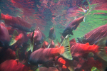 Underwater view of masses of Sockeye Salmon (Oncorhynchus nerka) resting while facing upstream at the edge of the lower Adams River, where the current is not as rapid as in the center of the river, during the biggest run in 100 years, Roderick Haig-Brown Provincial Park, British Columbia, Canada, October, Adams_River_Sockeye_Salmon-538