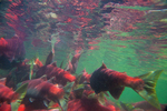 Underwater view of masses of Sockeye Salmon (Oncorhynchus nerka) resting while facing upstream at the edge of the lower Adams River, where the current is not as rapid as in the center of the river, during the biggest run in 100 years, Roderick Haig-Brown Provincial Park, British Columbia, Canada, October, Adams_River_Sockeye_Salmon-543