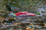 Male Sockeye Salmon (Oncorhynchus nerka) surging up Huihill Creek (aka Bear Creek), a salmon spawning stream that is a tributary of the Adams River, during the biggest Sockeye run in 100 years, Roderick Haig-Brown Provincial Park, British Columbia, Canada, October, Adams_River_Sockeye_Salmon-879