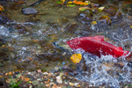 Male Sockeye Salmon (Oncorhynchus nerka) surging up Huihill Creek (aka Bear Creek), a salmon spawning stream that is a tributary of the Adams River, during the biggest Sockeye run in 100 years, Roderick Haig-Brown Provincial Park, British Columbia, Canada, October, Adams_River_Sockeye_Salmon-905
