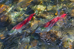 Sockeye Salmon (Oncorhynchus nerka) visually transformed by ripples on the surface of the Adams River, during the biggest Sockeye Run in 100 years, Roderick Haig-Brown Provincial Park, British Columbia, Canada, October, Adams_River_Sockeye_Salmon-955