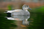 Gadwall (Anas strepera) adult male in breeding plumage foraging in a pond in the Washington Park Arboretum, University of Washington, Seattle, Washington State, USA, March, Gadwall_Duck-98