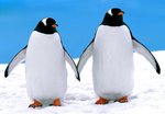 "Gentoo Penguins(Pygoscelis papua) ""holding hands"" and waiting for the snow to melt so that they can establish a nest, Antarctic Peninsula, Antarctica, Gentoo_Penguins_6723"