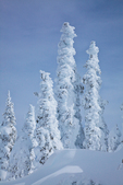 Rime ice thickly deposited on the trees of the subalpine forest of Hurricane Ridge, Olympic National Park, Washington State, USA, Hurricane_Ridge_Winter-165