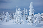 Rime ice thickly deposited on the trees of the subalpine forest of Hurricane Ridge, Olympic National Park, Washington State, USA, Hurricane_Ridge_Winter-2