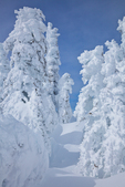 Rime ice thickly deposited on the trees of the subalpine forest of Hurricane Ridge, Olympic National Park, Washington State, USA, Hurricane_Ridge_Winter-25
