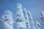 Rime ice thickly deposited on the trees of the subalpine forest of Hurricane Ridge, Olympic National Park, Washington State, USA, Hurricane_Ridge_Winter-29
