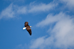 Bald Eagle (Haliacetus leucocephalus) circling in to steal a dead gull freshly killed by a Peregrine Falcon (Falco peregrinus) on Shi Shi Beach, Olympic National Park, Washington State, USA, June, Point_of_Arches-29